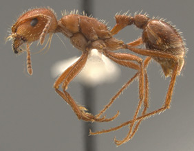 Pogonomyrmex maricopa, side view
